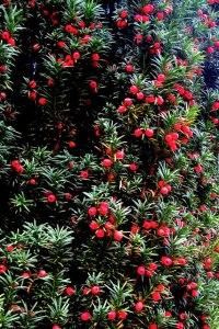 Berries of the Yew Tree