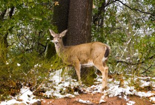 Deer looking at camera