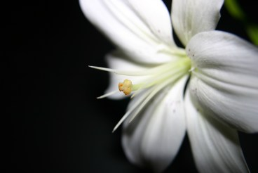 White lily - symbol of death