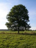 450px-Ash_Tree_-_geograph_org_uk_-_590710