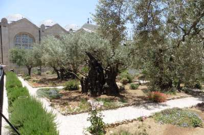 Described as 2,000 year old Olive tree in the Garden of Gethsemane
