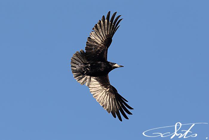 Corbeau freux [Corvus frugilegus]-1413