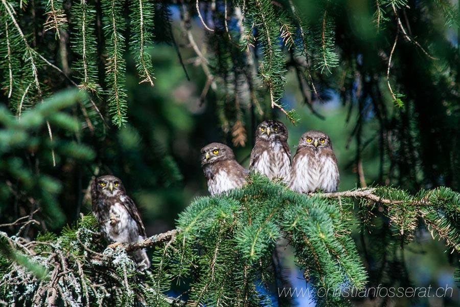 Aves, Birds, Chevêchette d'Europe, eurasian Pygmy Owl, Glaucidium passerinum, Strigidae, Strigidés, Stririformes