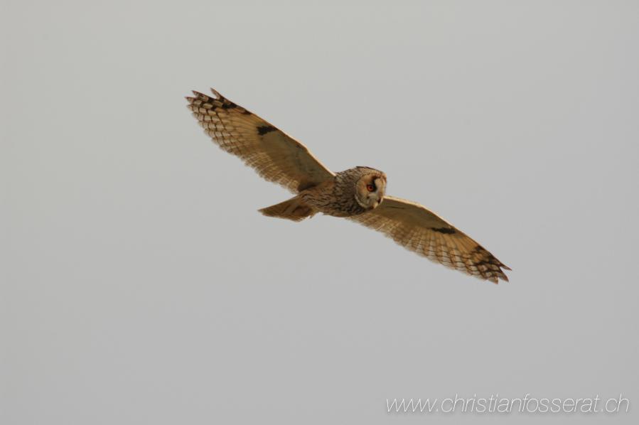 Hibou moyen-duc, adulte en vol en plein jour, au printemps en France. Aves, Birds, Asio otus, Hibou moyen-duc, Long-eared Owl, Strigidae, Strigidés, Strigiformes