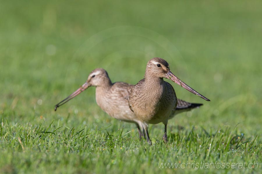 Barge rousse (Limosa lapponica)-1521
