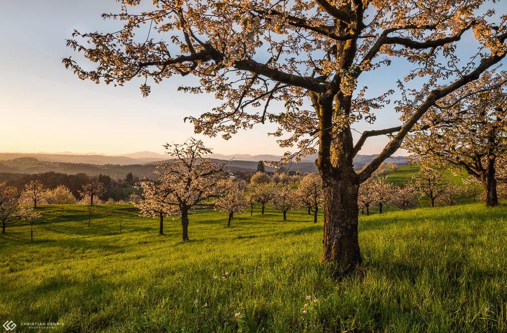 Blühender Kirschbaum nach dem Sonnenaufgang im weichen Sonnenlicht