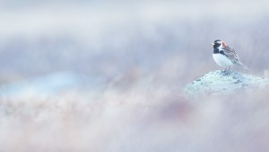 Spornammer - Lappland Longspur