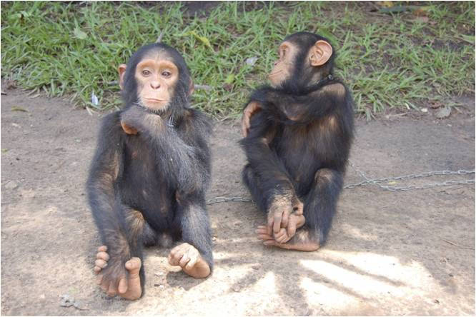 Lawsuit Filed to Extend Legal Personhood to Chimpanzee
