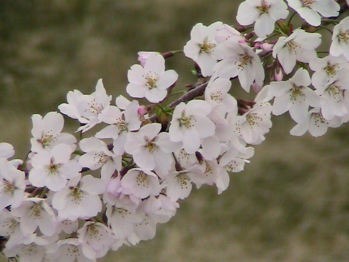 Sand Cherry Blossoms