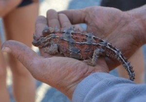 Thorny Dragon found near Uluru Australian outback
