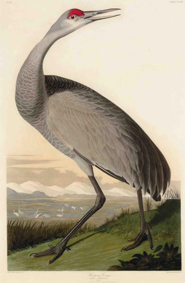 John James Audubon Robert Havell Hooping Crane Plate Cclxi Grus Americana Christie'