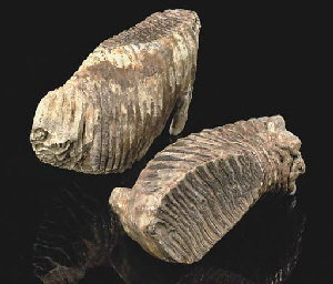 Two Mammuthus Trogontherii (tundra mammoth) teeth,