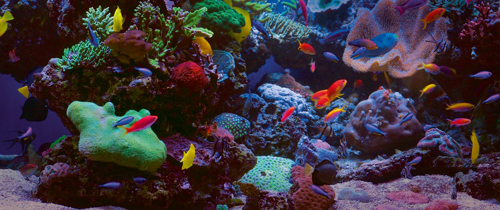 Marine anemones - flowers for the aquarium. Features and conditions of detention