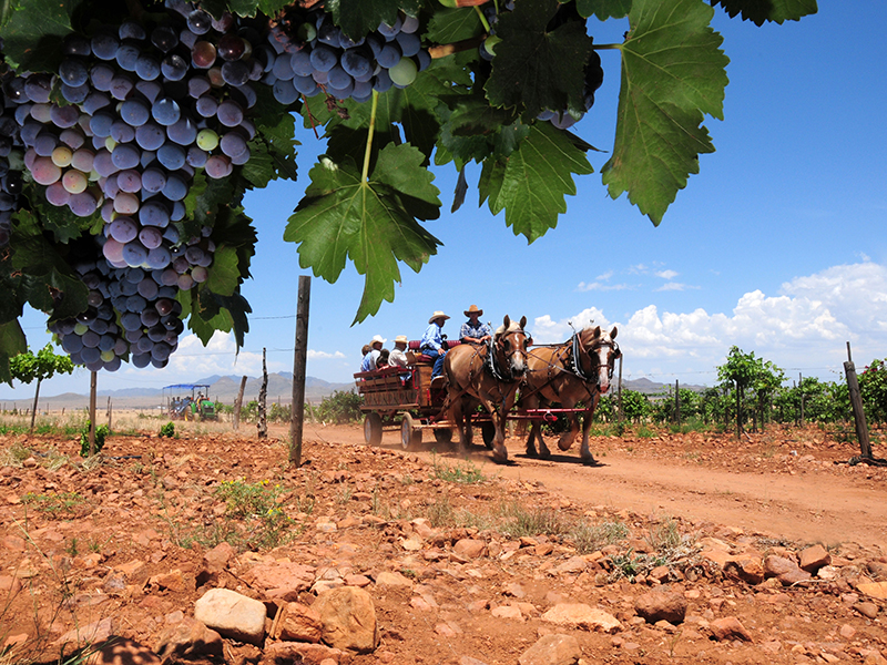 A horse-drawn cart in a vineyard