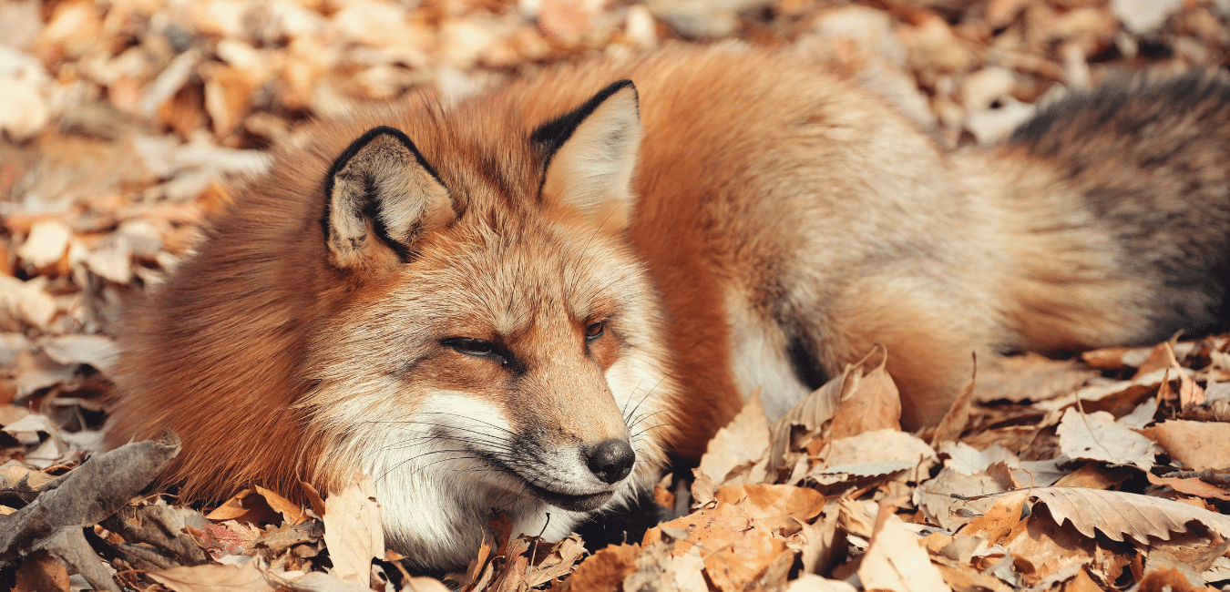 Travel Therapy Japan - Fox