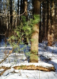 An evergreen branch in a forest with the ground covered in snow