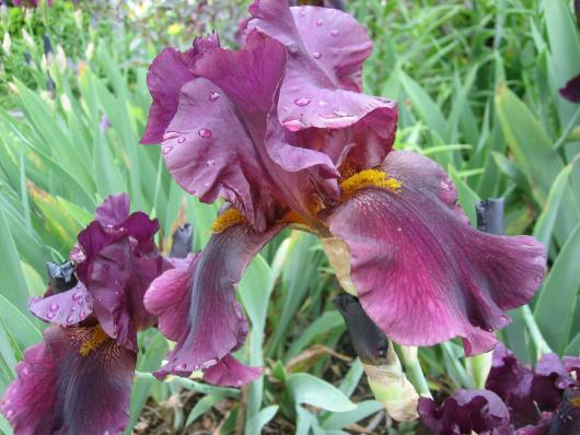 My big purple bearded iris