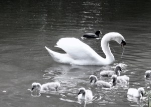 swan chicks-b-w