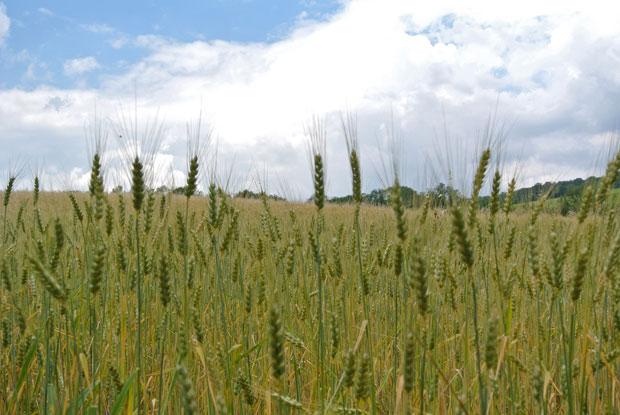 Getreidefelder am Bisamberg
