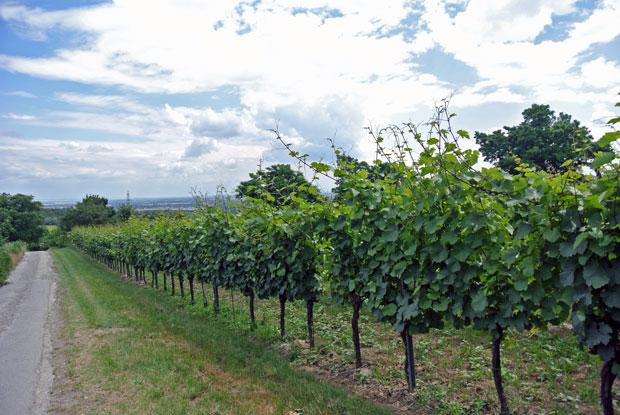 Weingärten auf dem Bisamberg