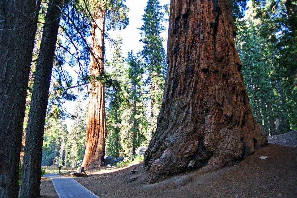 Big Trees Trail im Sequoia National Park