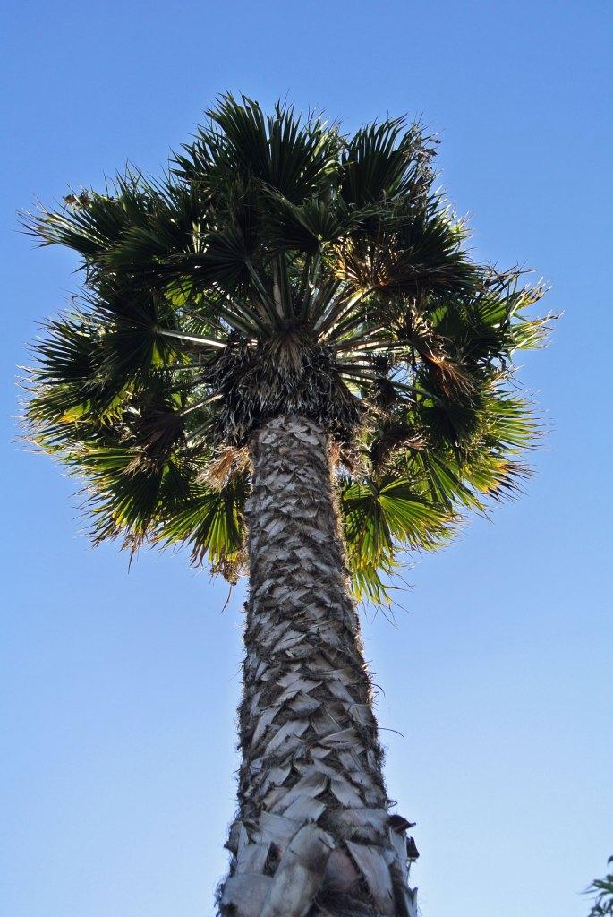 Palme in Santa Monica