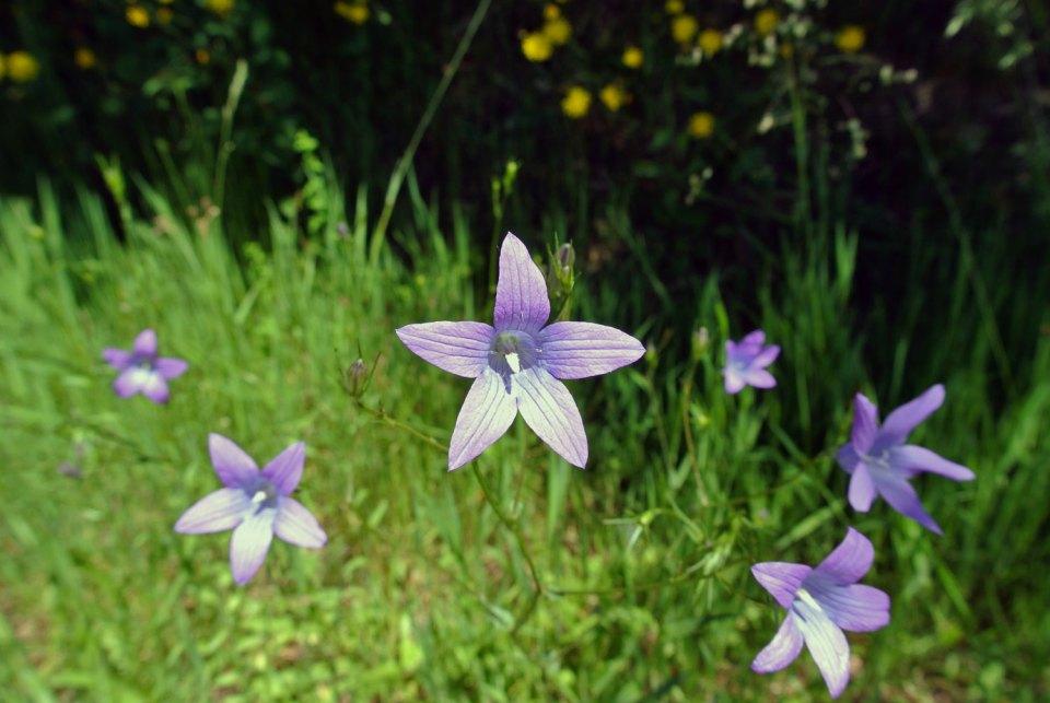 Blume im Böhmerwald
