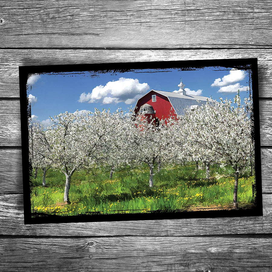 Door County Cherry Blossoms Red Barn Postcard