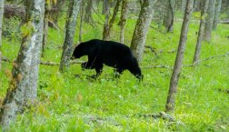 bears in the smoky mountains