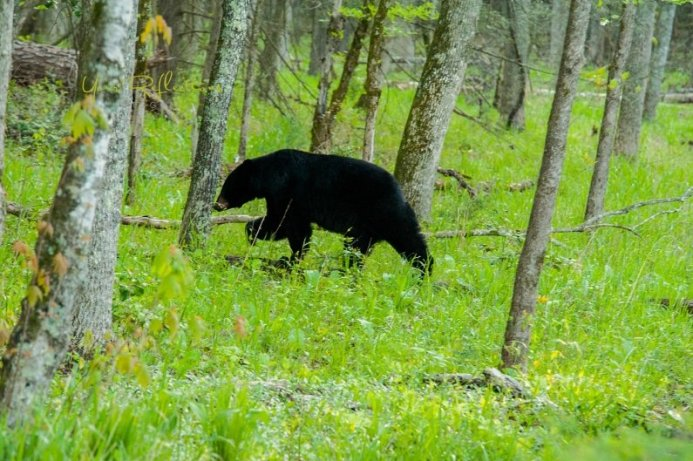 bears in the smoky mountains - by Tonya Damron Photography