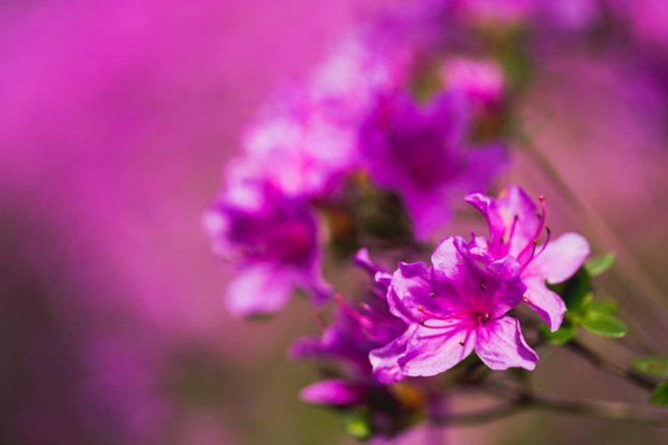 Rhodo en fleur pour les cours de photos
