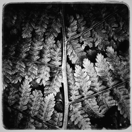 Black and white images of leaves.