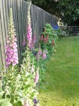 Foxgloves, Lupins in Orchard