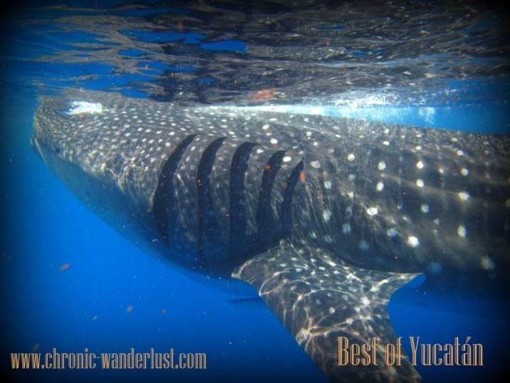 Whaleshark Mexico Yucatan