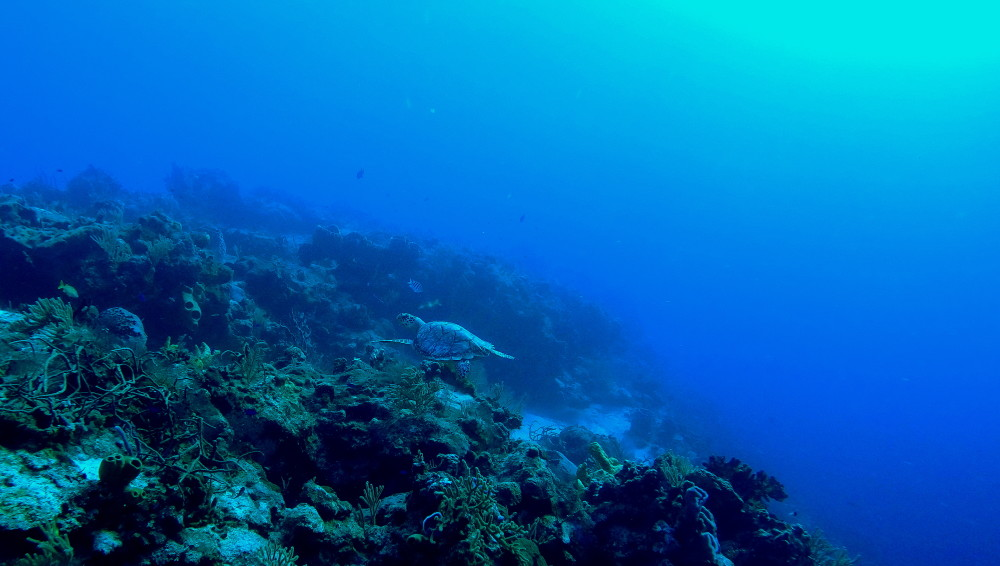 Turtle diving cozumel