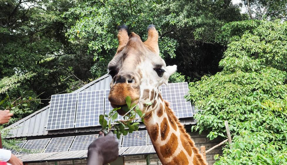 Giraffe Centre Nairobi Kenia