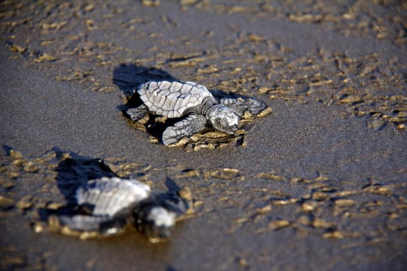 Schildkröten Playa El Coco © Hanna Bizjak