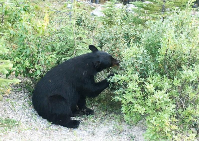 Schwarzbär Jasper Nationalpark