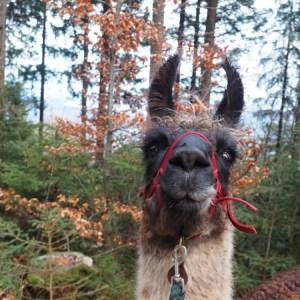 Alpaka Lama Wanderung Liechtenstein