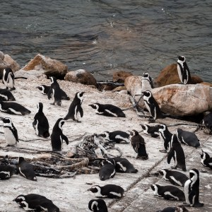 Penguins Betty's Bay Stony Point South Africa