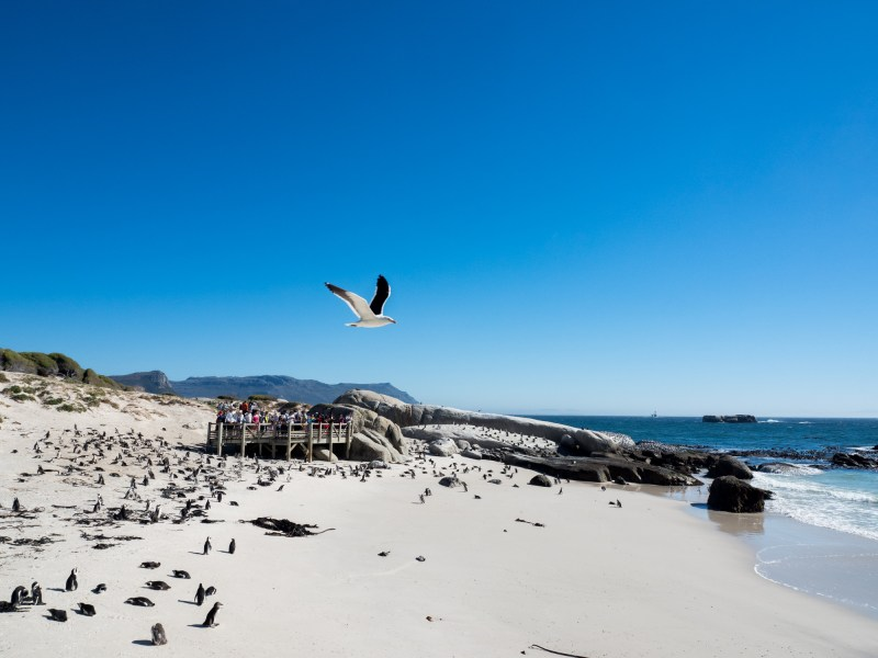 Penguins Foxy Beach Boulders Beach Simons Town