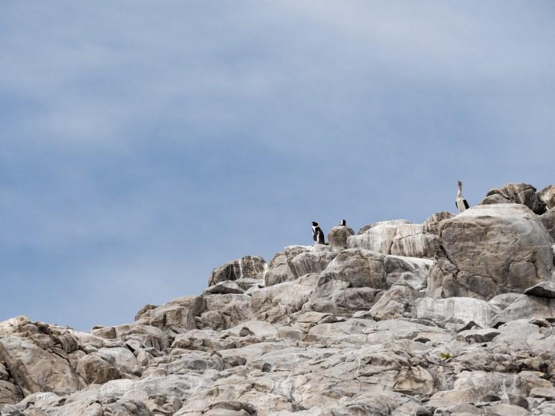 Penguins St Croix Insel Port Elizabeth South Africa