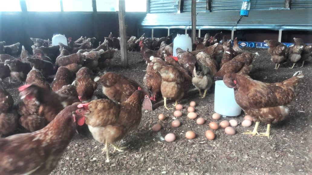 Gambia's Appetite for Chicken Inspires Rise in Poultry