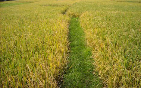 Rice farmers decry lack of government assistance