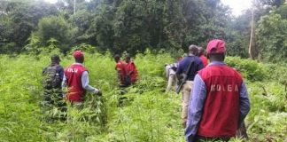 NDLEA destroys hemp farm in Osun
