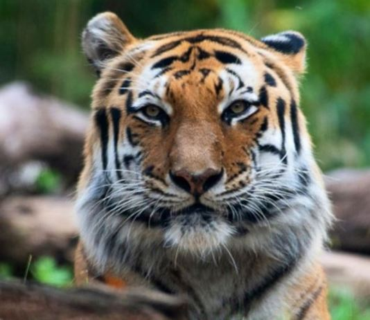 One of Malayan tiger at the Bronx zoo in New York City, US