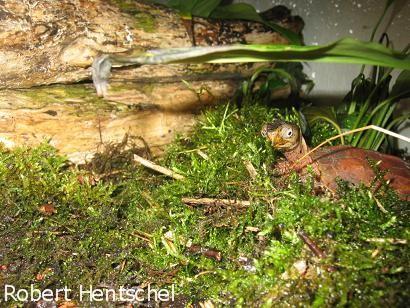 Zacken-Erdschildkröte, Geoemyda spengleri