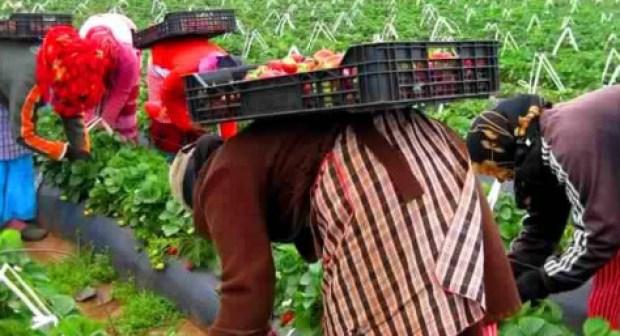 دفعة جديدة من العاملات المغربيات بالحقول الإسبانية