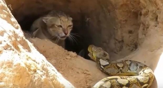 قطة تصارع أفعى عملاقة لإنقاد صغارها فيحدت ما لم يكن في الحسبان