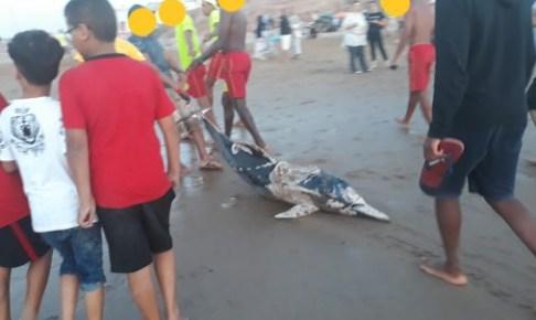 بالصور…البحر يلفظ دلفينا نافقا بعرض شاطئ تيزنيت